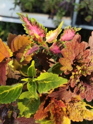 common and rare mayana plant /coleus rooted/mayana live plant/mayana rooted
