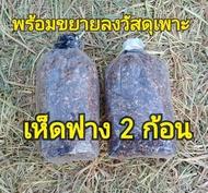 ก้อนเชื้อเห็ดฟาง (2 ก้อน) พร้อมใข้งาน นำไปขยายต่อในก้อนฟางหรือตะกร้า