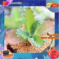 [ Home Garden ] Kalanchoe Daigremontian 3 Inch Pot กุหลาบหินนำเข้า ไม้อวบน้ำ. Imported Live Succulents plant [ ราคาถูกที่สุด ลดเฉพาะวันนี้ ]