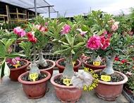 [不挑.隨機出貨] 重瓣沙漠玫瑰花 複瓣沙漠玫瑰盆栽 多年生觀賞花卉盆栽~ 室外半日照佳~ 有花先出~但寄出時不一定有花