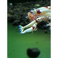 純血紅白水晶蝦