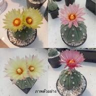 กระบองเพชร (Cactus) แอสโตรไฟตัม แอสทีเรียส (Astrophytum asterias)หัวโต ลุ้นสีและดอก ส่งพร้อมกระถาง