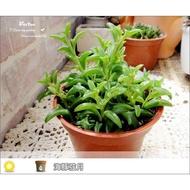 生活創意園藝【多肉植物】室外/半日照植物‧海豚弦月(三吋多株)