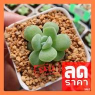 SALE !!สุดพิเศษ ## Echeveria Ice Green Single 2 Inch กุหลาบหินนำเข้า ไม้อวบน้ำ ##ต้นไม้และเมล็ดพันธุ์ดอกไม้