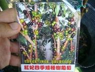 ╭*田尾玫瑰園*╯新品種樹種-(紅妃矮種四季樹葡萄)