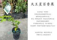 心栽花坊-天王星百香果/4吋/嫁接苗/水果苗/售價180特價150