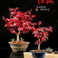 Red Potted Sapling Old Japanese Four Seasons Pile Dance Princess Indoor Bonsai Living Room Red Maple Bonsai Red Maple Pl