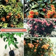 ANAK POKOK RAMBUTAN MEGA JARUM EMAS (KAHWIN) HYBRID Buah Buahan Fruits Live Plant [WEST MALAYSIA ONLY]