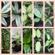 YANAN LIU 15 aglaonema variety Uprooted plants -Cloud Dy
