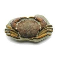 [超完整] 8爪2螯 10足螃蟹~~双刺靜蟹 化石~~廣東 陽江 (全新世)