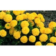 Marigold benih pokok bunga tahi ayam 🌼💛🧡