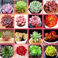 Succulents New Succulents Combination Potted Big Super Meng Rare Fleshy Varieties Indoor Potted Soil Package
