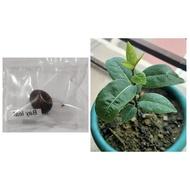 bay leaf seeds laurel plant bayleaf