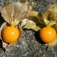 黃金莓/燈籠果/黃姑娘(果大)種子