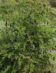 มะนาวคาเวียร์ มะนาวนิ้วมือ (1 ต้น)