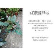 心栽花坊-紅鑽蔓綠絨/紅鑽石蔓綠絨/紅帝王蔓綠絨大/8吋/觀葉植物/室內植物/綠化植物/售價350特價300