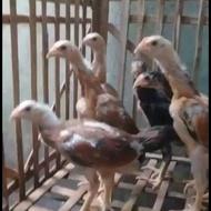Anakan Ayam Super Trah import ShamoBrazil Ekor Lidi