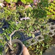 彰化田尾鄉樹苗繁殖農場    樹苗名稱:水蓮木