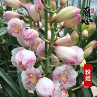 Luzhou-flavor well-bred and easy-to-live Cymbidium, orchid seedlings, flowers, potted plants, potted plants, green plant