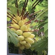【媽咪蔬果園】美國矮種  黃金木瓜    種子