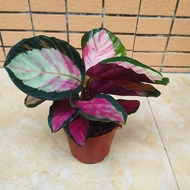 caladium/caladium seeds/caladium plants live/caladium keladi/caladium thai/caladium plant/Red Rose Arrowroot Potted Plan