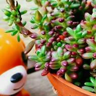 紫米粒~【多肉小學堂】紫米飯~ 開花  多肉 植物 仙人掌 肉肉 療癒盆栽 辦公室 陽台 室內 盆栽
