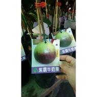 花花世界_季節水果--紫霸牛奶果--**新品種**/4吋盆/高30-50公分/TC