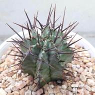 กระบองเพชร ไม้อวบน้ำ Euphorbia horrida ยูโฟเบีย ฮอริด้า