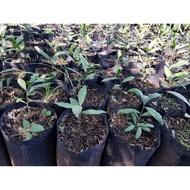 Hot..!![] - ต้นกล้าผักหวานป่าขนาด30-35ซม.(1ชุด4ต้น)..เมล็ดพันธุ์คุณภาพดี..!!