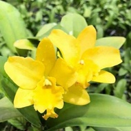 Hot..!![] - กล้วยไม้แคทลียา Yellow Mini ดอกขนาดกลาง ดอกหอม กระถาง 3.5 นิ้ว กอใหญ่ ไม้หลายหน้า (ส่งแบบไม่มีดอก ขนาดตามภาพตัวอย่าง)..เมล็ดพันธุ์คุณภาพดี..!!