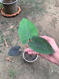 บอนสี แบล็คเมจิก blackmagic caladium (จัดส่งทั้งต้นพร้อมใบ) บอนสีดำ บอนสีแปลก ชายชล