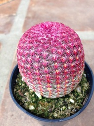 1ต้น/ชุด กระบองเพชร แคคตัส Cactus : Rainbow Cactus Echinocereus rigidissimus เรนโบว์ สวยงาม ต้นกำลังสวย ขนาดต้นเฉลี่ยประมาณ 5-8 CM. ส่งพร้อมกระถาง 8 ซม.ไม้เพาะเมล็ด ขนาดต้นเท่าไข่เป็ดเบอร์ใหญ่ สีตามรูปเลยจ้า