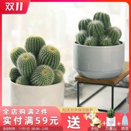 seeds plant seeds succulent planter succulent plant succulent pot succulent soil ♛Multi-headed prickly pear potted indoo