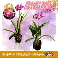 REAL LIVE PLANT CATTLEYA ORCHID PLANTS INCLUDING IRON HANGER SPECIES SELECTION POKOK HIDUP ORKID