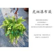 心栽花坊-虎斑瀑布蕨/5吋/綠化植物/室內植物/觀葉植物/蕨類/售價250特價200