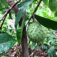 刺果番荔枝 超大樹苗 15年以上樹齡 果實累累了 持續開花 山刺番荔枝