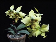 精選蘭花P.stuartiana var.nobilis(Super GOLDEN!)超金黃色史塔基,看個體買!
