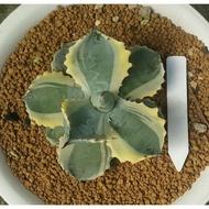 王妃甲蟹覆輪 龍舌蘭 多肉植物