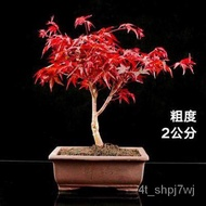 Short Gold Dance Ji Bonsai Maple Mountain Japan Plant Three Season Seedlings REDLEAF Potted Red Maple Red Old Bonsai Pil