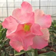 沙漠玫瑰 重瓣品種 嫁接5吋盆(欣蕾)