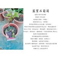 心栽花坊-藍寶石葡萄/5吋嫁接苗/葡萄品種/水果苗/售價2400特價1800