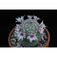 Hot Sale กระบองเพชร ไม้อวบน้ำ แคคตัส cactus succulent seeds เมล็ดพันธุ์ Mammillaria albicans ราคาถูก ต้นไม้ ไม้ ประดับ ต้นไม้ ประดับ พรรณ ไม้