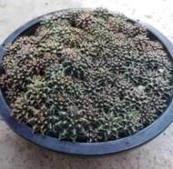 กระบองเพชร แคคตัส Cactus ยิมโน mihano.คละsize 5ต้น100บาท สั่งได้ที่ lazada ลาซา ด้า