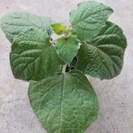 黃金莓苗2.5盆(苗運費70)《燈籠果.黃姑娘》現貨中……!郵資28純寄種子