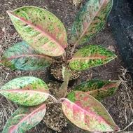 tanaman hias aglonema big roy / tanaman aglonema big roy