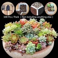 Ready Stock อัตราการงอกสูง 100 Pcs / Pack Mixed Colour Succulent Seeds เมล็ดบอนสี เมล็ดแคคตัส ต้นไม้มงคลจิ๋ว ต้นไม้ฟอกอากาศ เมล็ดไม้อวบน้ำ เมล็ดพันธุ์ดอกไม้ แต่งบ้านและสวน - Seeds for Planting - ปลูกง่าย ปลูกได้ทั่วไทย