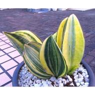 寶扇錦 巨大虎尾蘭 多肉植物
