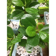 Ficus elastica /ficus microcarpa 8-10 inches only
