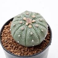 Astrophytum Asterias แอสโตรไฟตัม แอสทีเรียส Cactus ,Succulent ,กระบองเพชร ,ไม้อวบน้ำ ,แคคตัส