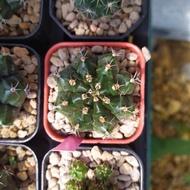 กระบองเพชร และ ไม้อวบน้ำ Gymnocalycium Mihanovichii ยิมโนคาลิเซียม มิฮาโนวิชิไอ ไม้เพาะเมล็ด